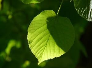 leaf-55855_960_720