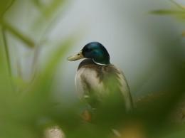 duck-1767549_960_720